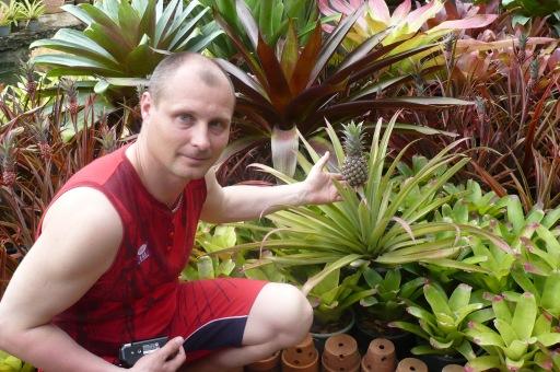 Вот так растет ананас